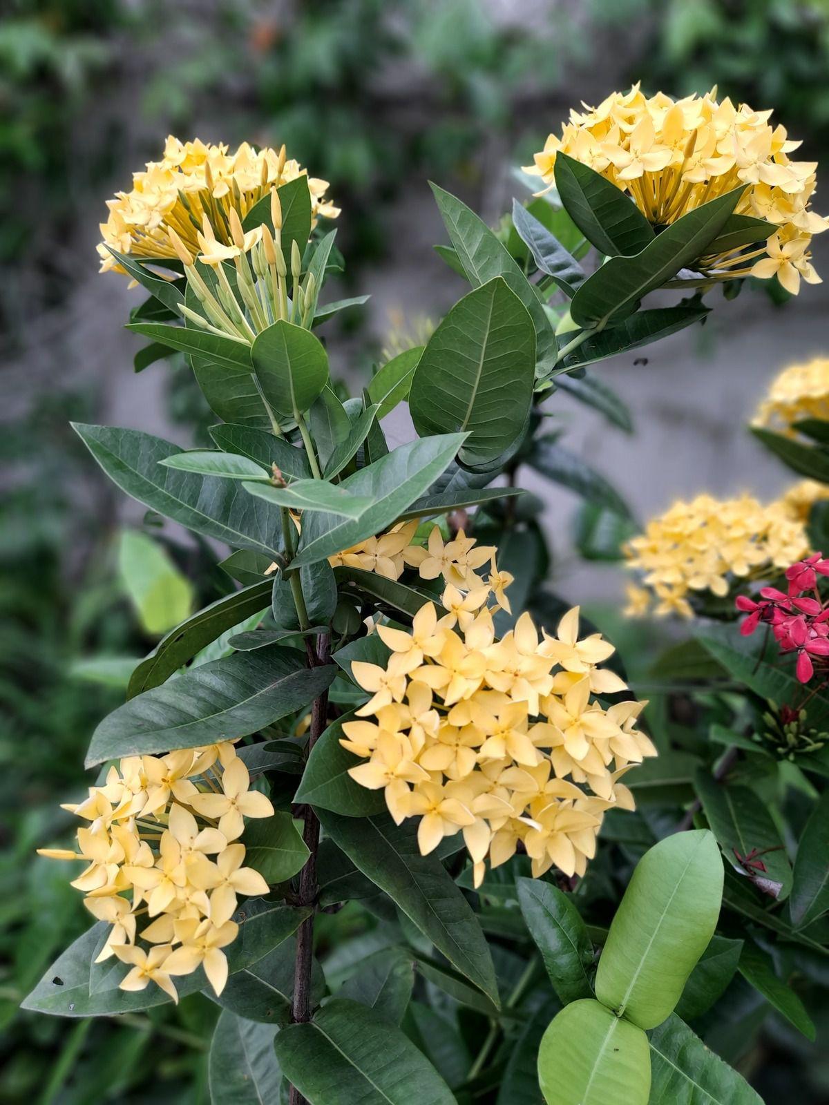 Les Ixoras, fleurs ornementales très prisées.