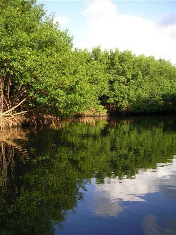 La mangrove... Milieu intermédiaire entre terre et mer... Seuls arbres, les palétuviers... Des dizaines d'animaux y habitent.... Regardez!!