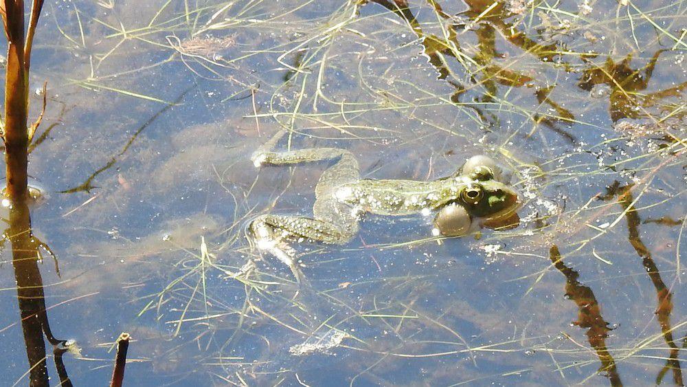 Des grenouilles à Saint-Brice...