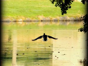atterrissage d'un canard