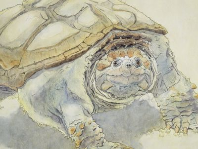 Tortue vorace, making of / voracious turtle, making of