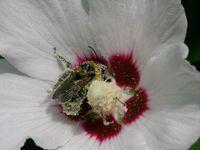 Des pollinisateurs au travail, protegeons-les !!