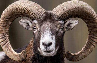 Confinement: la chasse au mouflon suspendue en Lozère par la justice