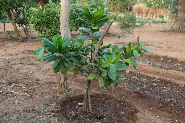 Manguiers et agrumes plantés au jardin et sur mon terrain.