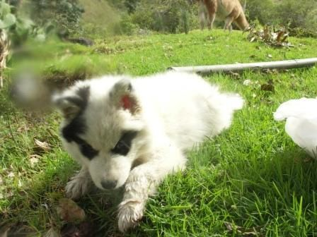 Bonjour je m appelle Atocc Rritti, Zorro des Neiges en quechua. Je suis un Alaska Malamute, chien de traineau. Je suis ne le 25 janvier 2008.  Bonne route a toi bonhomme!