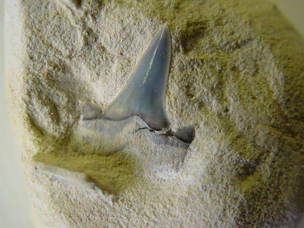 """<p>Une de mes passions parmi les fossiles, les dents de requins. Trouvées en abondance en Belgique, mais des échanges et achats m'ont permis de me constituer une importante collection du Monde entier.</p> <p>Les quelques pièces ici présentées sont datées du Permien (250 millions d'années) au Pliocène. (3 millions d'années)</p> <p>Bonne visite !</p> <p>Phil """"Fossil""""</p> <p></p>"""