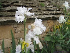 Secteur ouest du Jardin de Frescati : Iris germanica