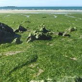 Algues vertes en Bretagne : l'État condamné à agir