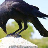 Approchons sans préjugés ces corvidés mal-aimés...