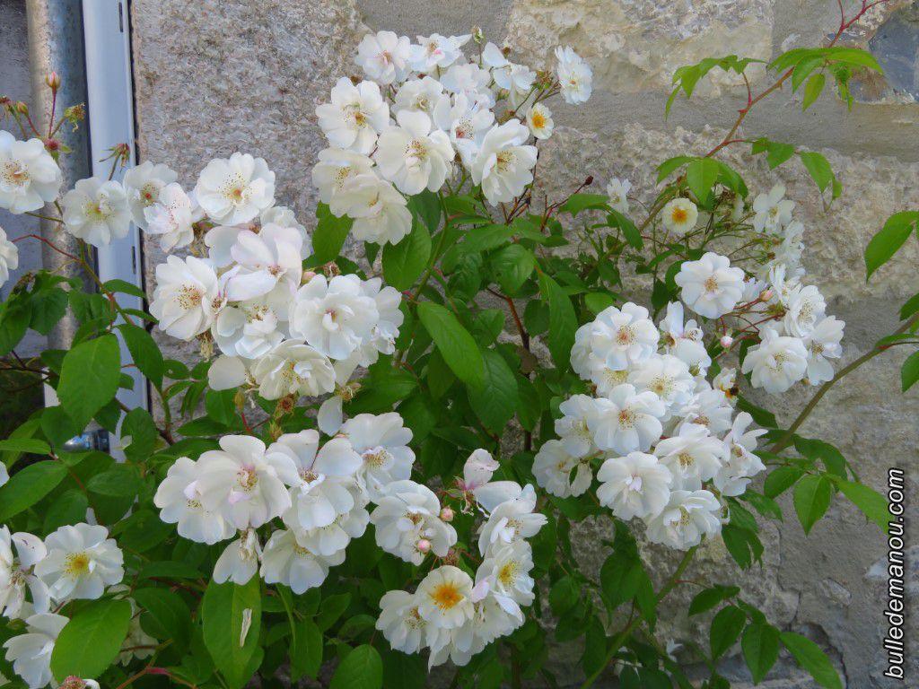 Rosier blanc cultivé