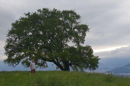 Le mirifique chêne de Venon