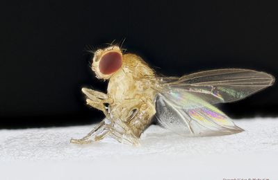 Drosophilidae collée