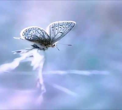 Papillons féeriques