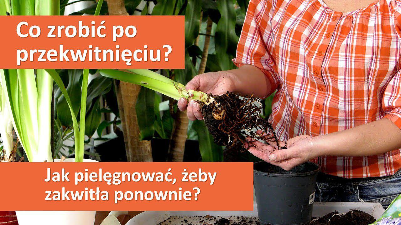 Eustoma wielkokwiatowa – piękne kwiaty w doniczce i wazonie.