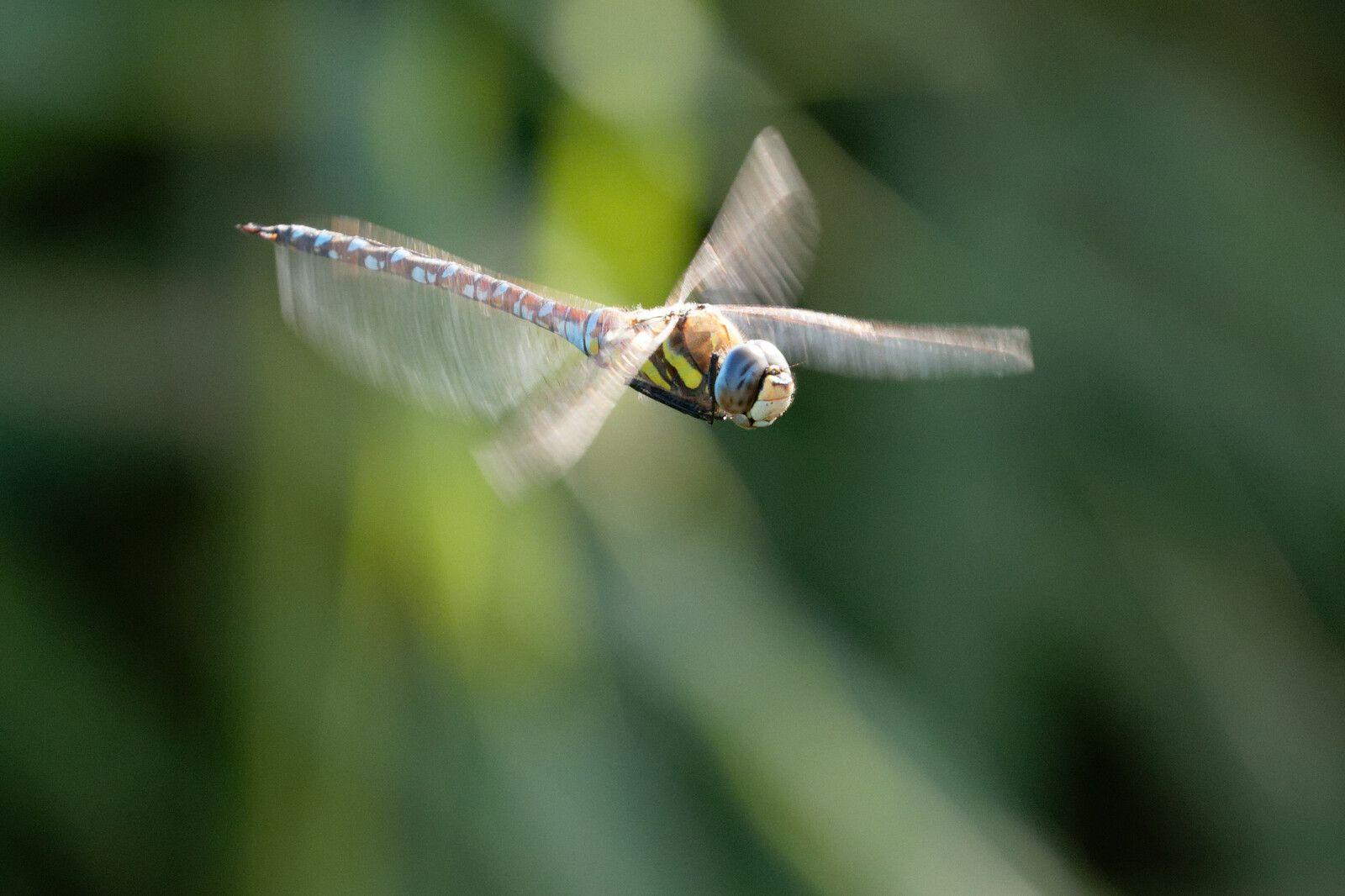 Aeschne mixte à son poste également. Sa saison s'annonce bien, il fait beau et les petites créatures volantes sont bien là.