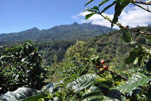 Cafés organiques du Panama. 5/ Boquete, visite de plantations prestigieuses