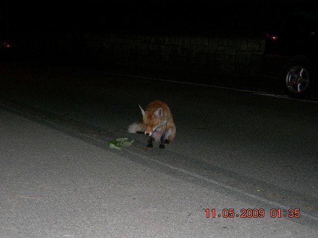 mein hund hat sich einen wilden fuchs als besten freund ausgesucht, dadurch habe ich mich zu einer fuchsmama entwickelt-(inkl. mit hilfe vieler, vieler leckerlis-) dafür hab ich im gegenzug diese speziellen fotos gekriegt