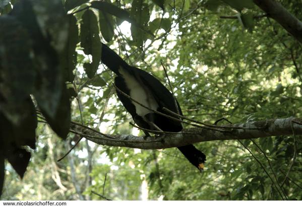 Infime aperçu en seize images de ce que l'on peut observer au cœur de la forêt tropicale en Guyane française. Contrairement aux idées reçues, on ne croise pas dans la jungle une bête sauvage derrière chaque arbre. Lorsque l'on voit les animau