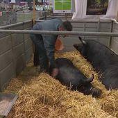Salon de l'agriculture : les éleveurs ont énormément de travail pour bichonner les animaux - Le journal de 13h   TF1