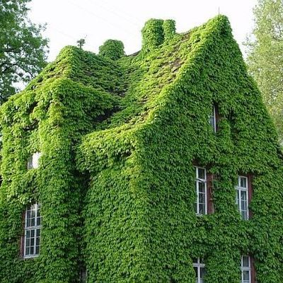 Ivy for the planet