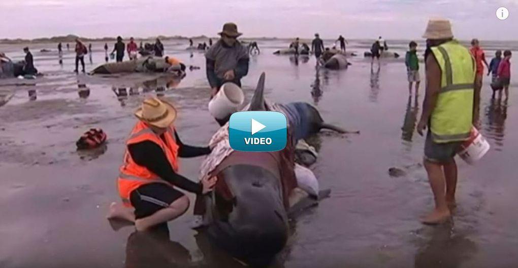 VIDEO - 416 baleines-pilotes s'échouent sur une plage de Nouvelle-Zélande