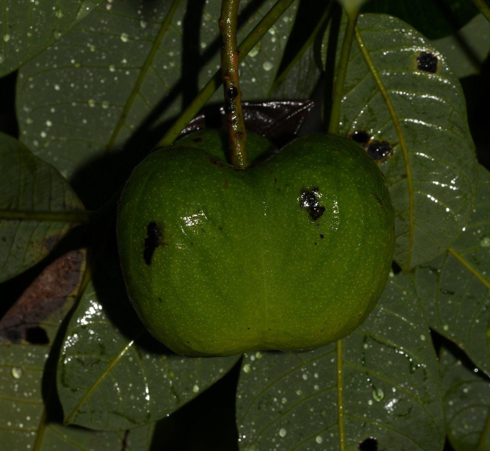 Hevea guianensis (hévéa)