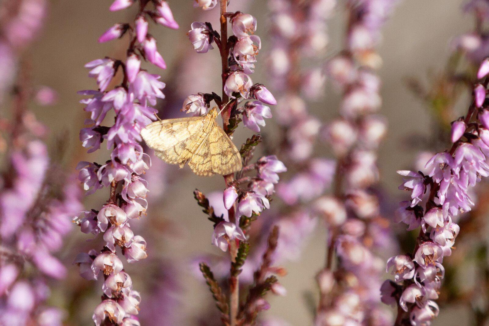 Papillon de nuit... oui.... une Phalène ?