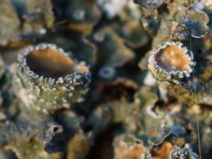 Apothécies (de gauche à droite et de bas en haut : Pleurosticta acetabulum, Xanthoria polycarpa, Anaptychia ciliaris, Lecanora sp.)