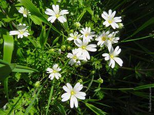 Ceraiste des champs (Cerastium arvense). Attention !  Plante protégée en Bretagne !