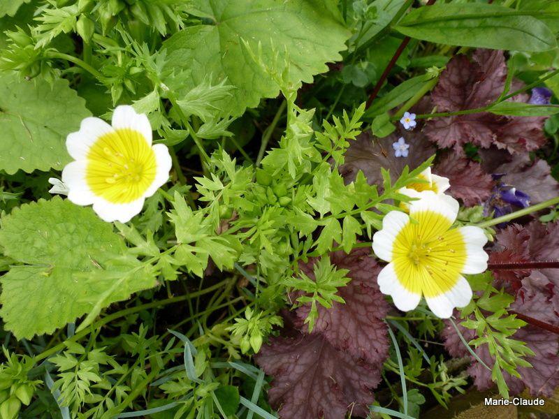 La Limnanthes Douglasii appelée par les anglais oeuf sur le plat, au feuillage très découpé, fleurit au printemps puis monte en graines et se ressème en septembre pour refleurir la saison suivante si elle se plaît.
