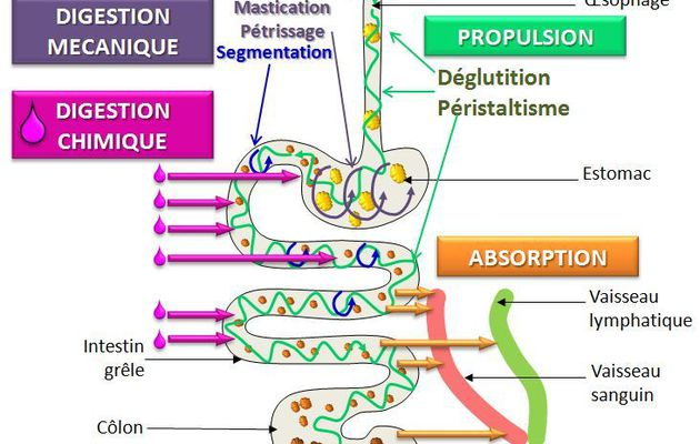 Les principales étapes de la digestion