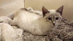 Jalbala, chaton femelle seal point, à l'adoption -> adoptée