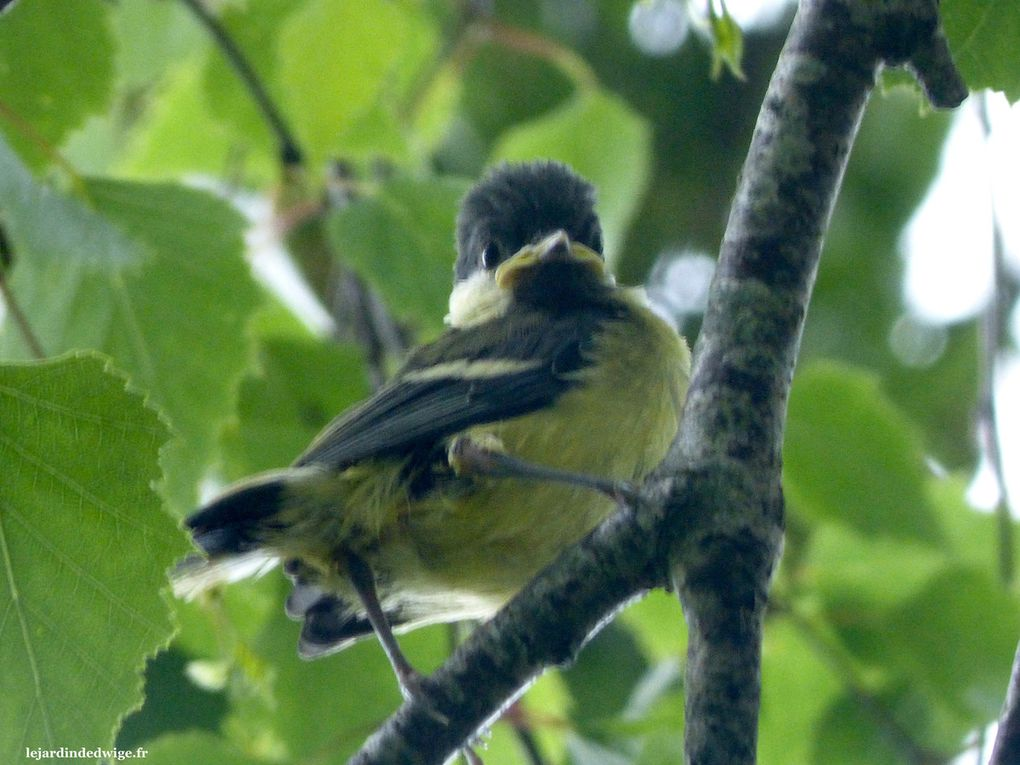 Les oisillons viennent de prendre leur envol, ils découvrent la pluie perchés dans un arbre.