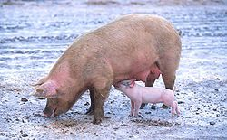 Annulation d'une autorisation d'exploiter une porcherie compte tenu de la pollution qu'elle engendre