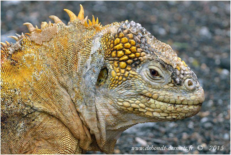 Iguane terrestre male (Conolophus subcristatus)