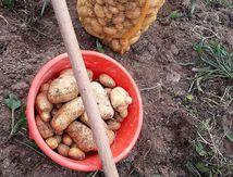 Le temps des patates