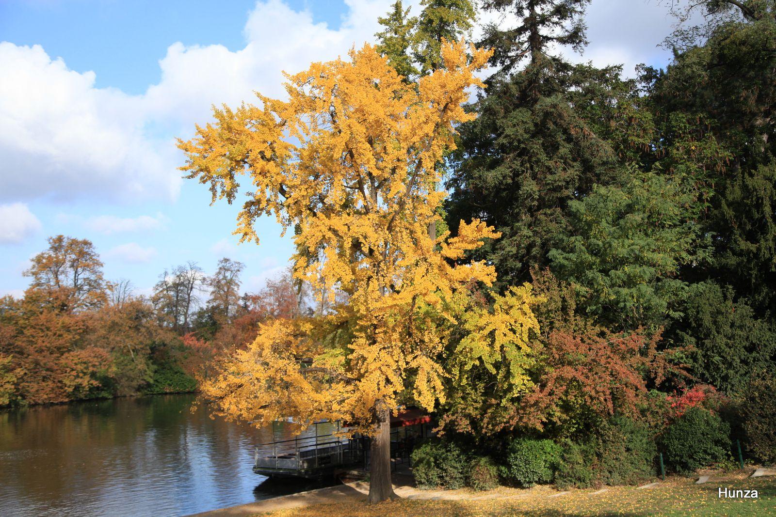Bois de Boulogne, gingko biloba du lac inférieur