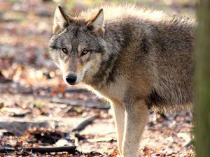 Le loup est 'il aux portes de la Sarthe ?