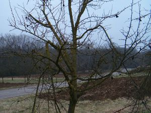 Nombreuses sont les branches à retirer de ces arbres.