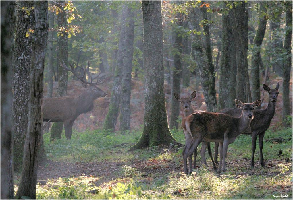 ...Lorsque soudain, un cri rauque d'une incroyable puissance déchire le silence de la forêt. Mais est-ce un cri ou un rugissement de désir ? ...