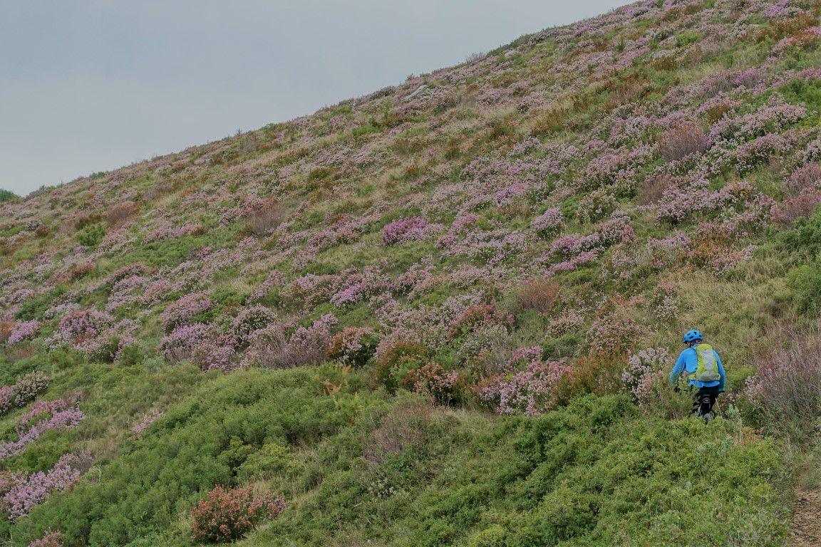champs de bruyères et d'ajoncs en fleurs entre la source des eaux vives et le Baralui