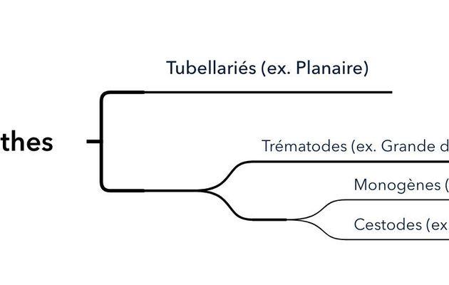La classification des Plathelminthes