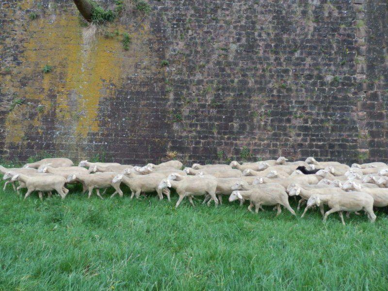 L'arrivée route de Bâle du petit troupeau...