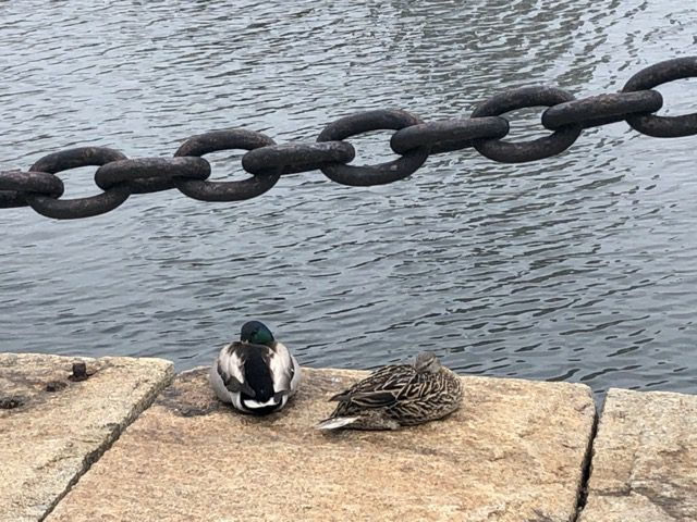 des canards a Boston