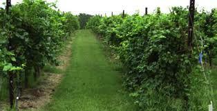 Viticulture  in Oklahoma
