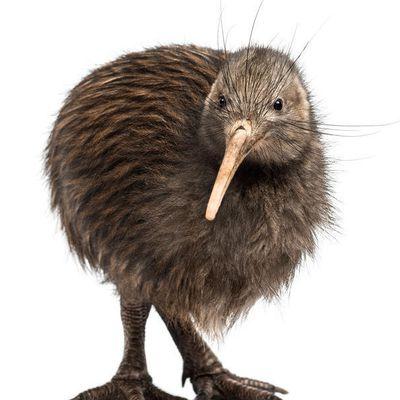 Le kiwi austral