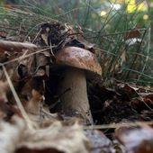 La gendarmerie mobilisée contre les... chercheurs de champignons