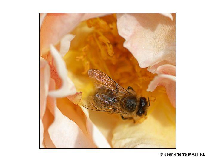 Les abeilles et les bourdons, infatigables travailleurs sont toujours là. Pourvu que cela dure…