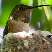 Colibri d'Allen - Wikipédia