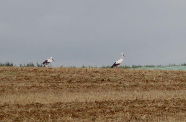 Cigognes en Périgord
